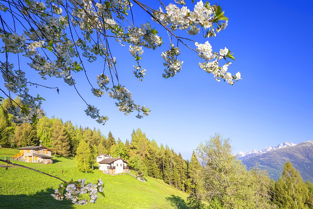 Floweing cherry tree at Pian di Gembro, Aprica, Orobie Alps, Valtellina, Lombardy, Italy, Europe - 1269-438