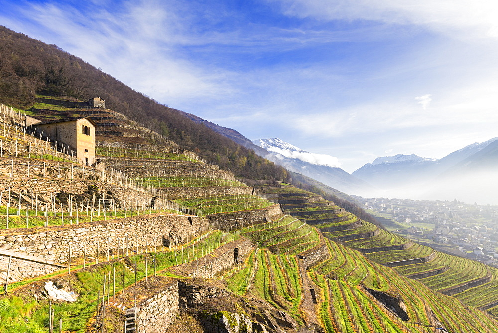Sunlight in the wineyards at spring. Bianzone, Valtellina, Lombardy, Italy, Europe. - 1269-439