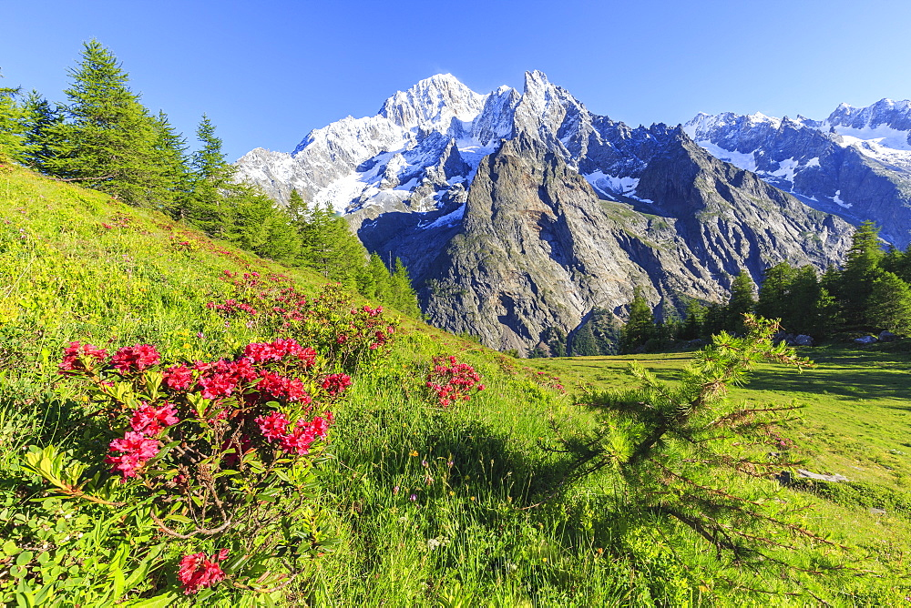 Rhododendrons in bloom in front of Mont Blanc, Veny Valley, Courmayeur, Aosta Valley, Italy, Europe - 1269-44