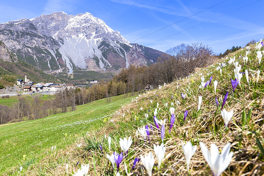 Flowering of crocus nivea with village in the background, Premadio, Valdidentro, Valtellina, Sondrio province, Lombardy, Italy, Europe