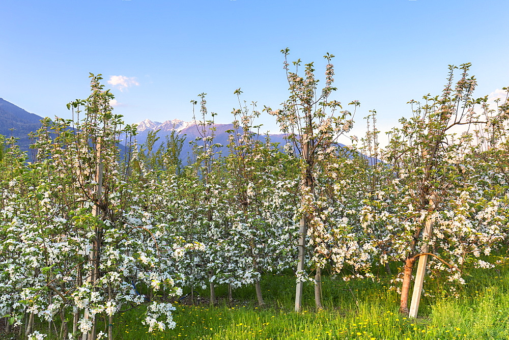 Apple orchards at sunset. Valtellina, Lombardy, Italy, Europe. - 1269-444
