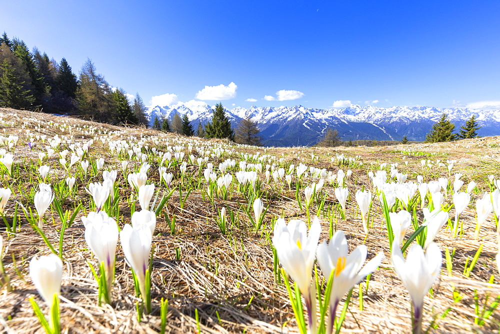 Flowering of Crocus Nivea in the Orobie Alps, Aprica, Orobie Alps, Valtellina, Lombardy, Italy, Europe