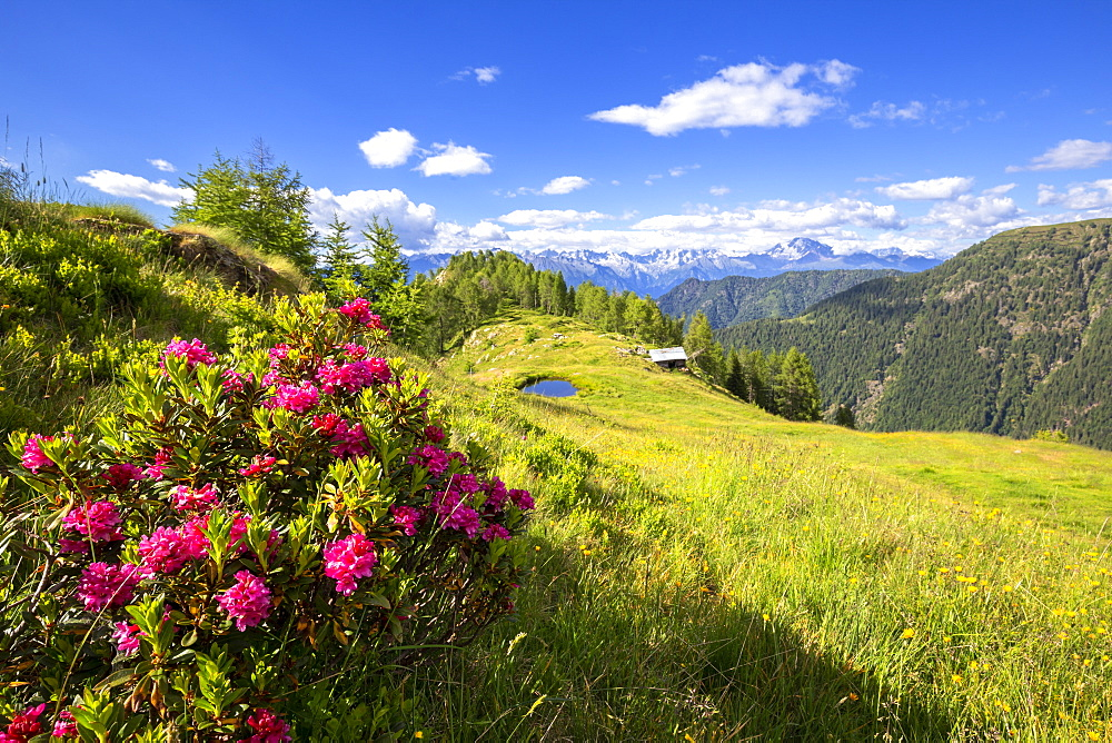 Flowering rhododendrons with a hut and a pond in the background, Valgerola, Orobie Alps, Valtellina, Lombardy, Italy, Europe - 1269-485