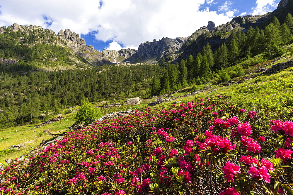 Flowering of rhododendrons in Orobie Alps, Valgerola, Orobie Alps, Valtellina, Lombardy, Italy, Europe