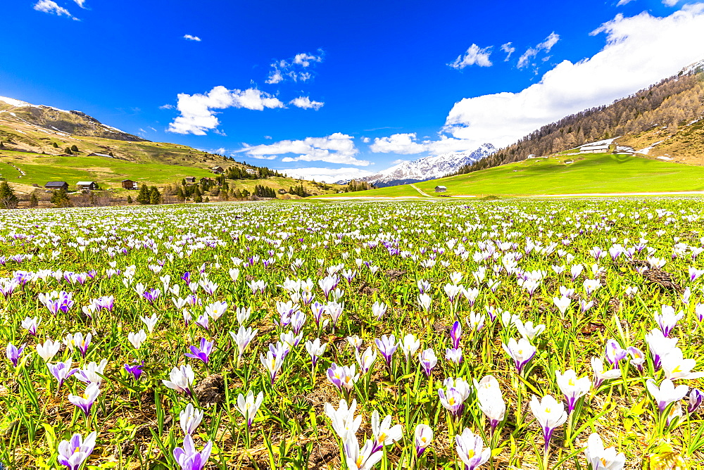 Flowering of Crocus nivea in Val Radons(Radons valley), Albula region, Canton of Grisons, Switzerland, Europe.
