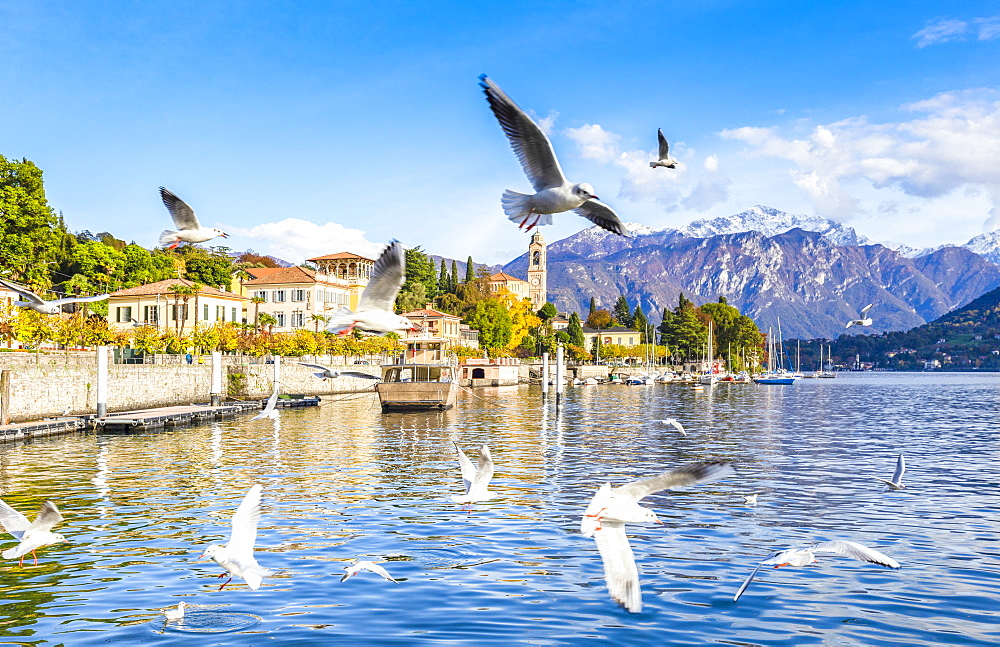 Seagulls fly over the water of the lake with the village of Tremezzo in the background, Lake Como, Lombardy, Italian Lakes, Italy, Europe