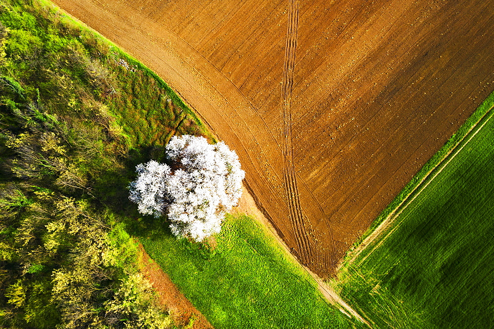 Zenithal aerial view of cherry tree in bloom, Lombardy, Italy, Europe