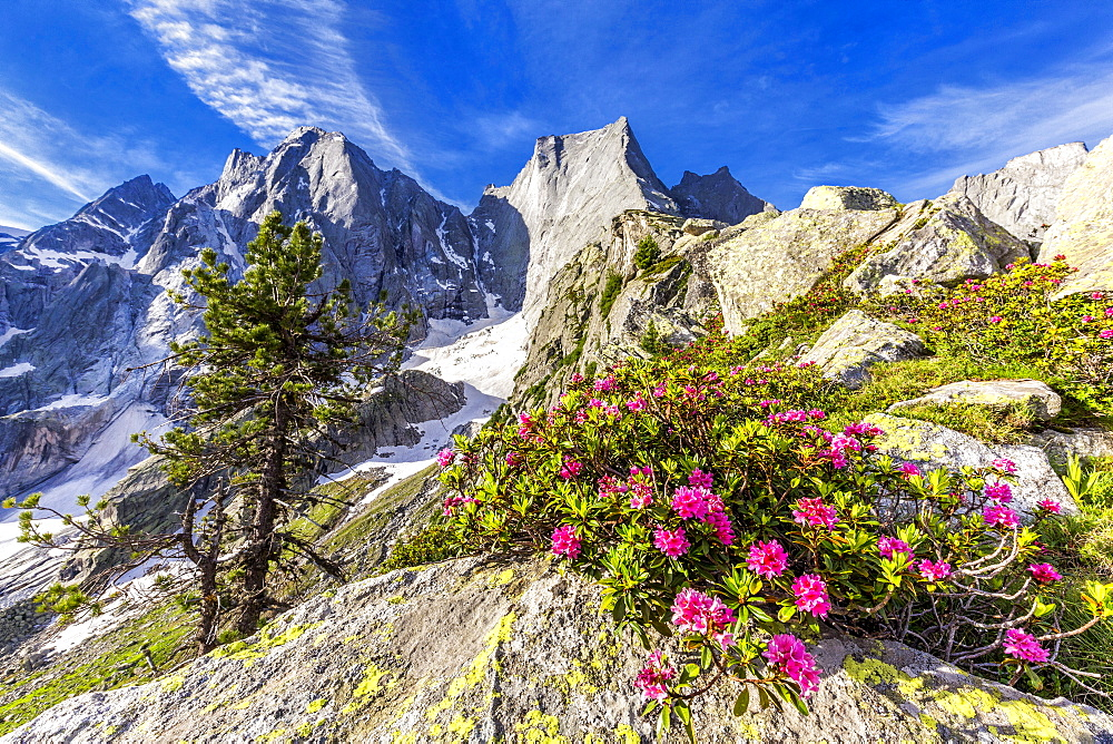 Rhododendrons in flower with the Pizzo Badile in the background, Bregaglia valley, Graubunden, Switzerland, Europe - 1269-622