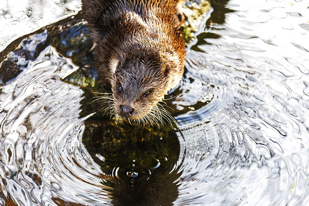 European Otter (Lutra lutra) on a pond, Tyrol, Austria, Europe - 1269-660