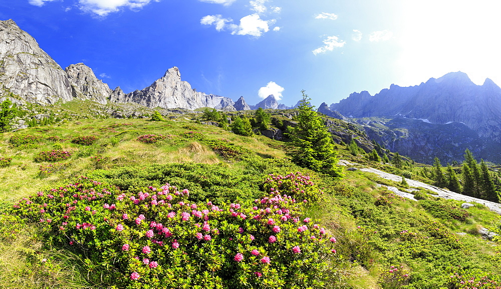 Blossoming rhododendrons in Torrone Valley, Valmasino, Valtellina, Lombardy, Italy, Europe