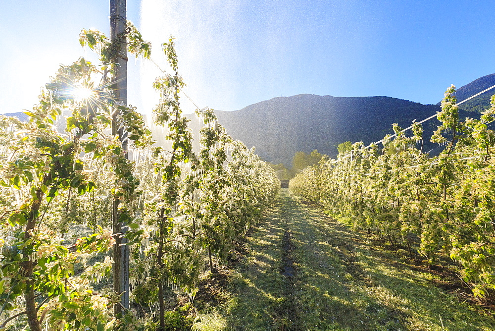 Ice on apple plants during the cold spring days, Valtellina, Lombardy, Italy, Europe - 1269-74