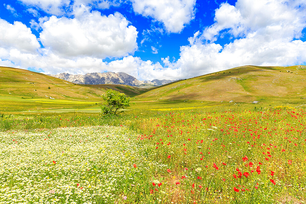 Blossoms in the lentil fields of Santo Stefano di Sessanio, Abruzzo, Italy, Europe - 1269-80