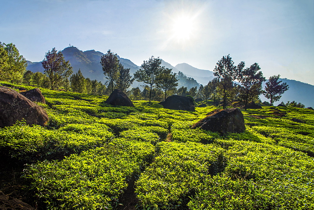Tea plantations landscape near Munnar in the Western Ghats Mountains, Kerala, India, Asia