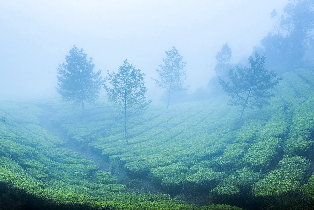 Tea plantations in mist, Munnar, Western Ghats Mountains, Kerala, India, Asia