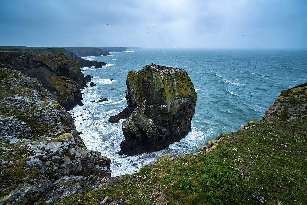 Elegug Stacks, occupied by a colony of Guillemots, Pembrokeshire Coast National Park, Wales, United Kingdom