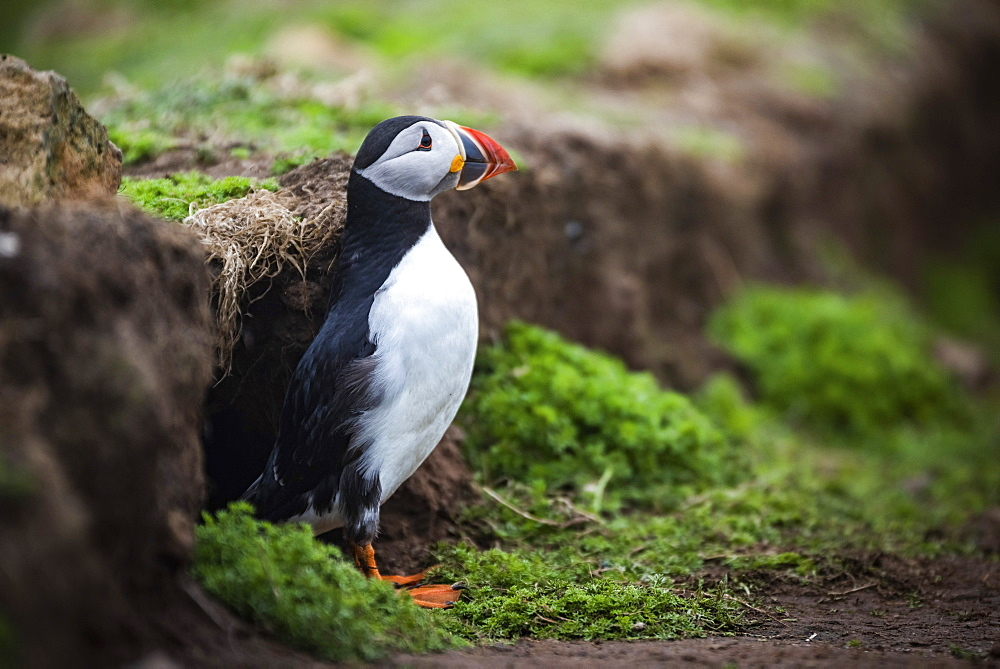 Puffin at the Wick, Skomer Island, Pembrokeshire Coast National Park, Wales, United Kingdom