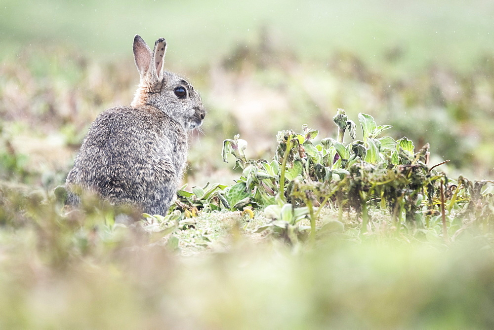 Rabbit on Skomer Island, Pembrokeshire Coast National Park, Wales, United Kingdom