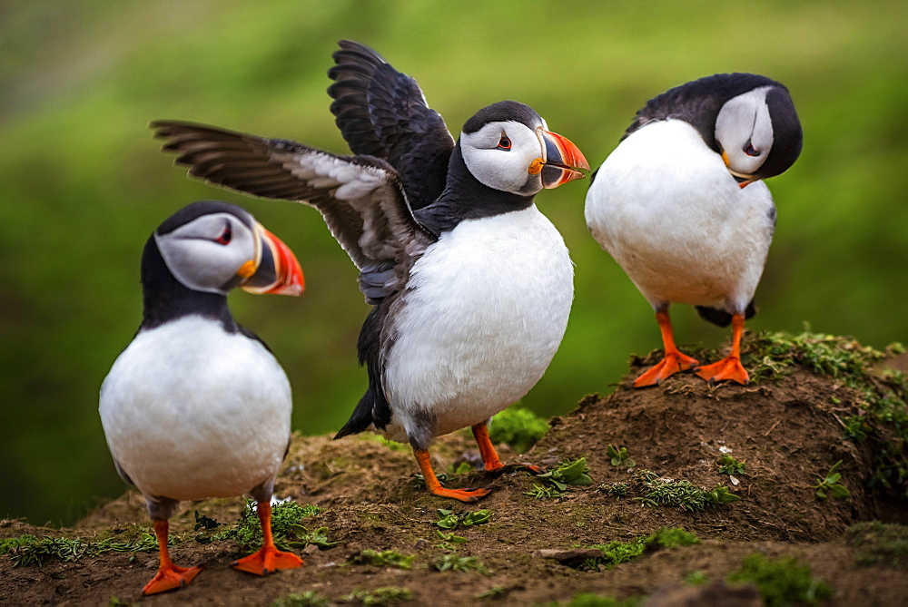 Puffins at the Wick, Skomer Island, Pembrokeshire Coast National Park, Wales, United Kingdom