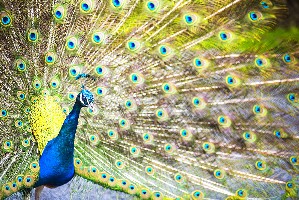 Peacock in Dartmoor, Devon, England, United Kingdom - 1272-61
