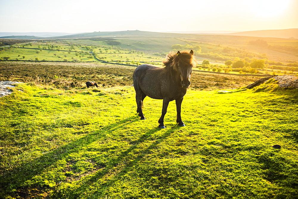Pony in Dartmoor National Park, Devon, England, United Kingdom, Europe