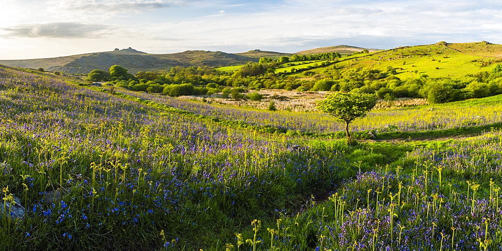 Bluebells in spring, Dartmoor National Park, Devon, England, United Kingdom, Europe - 1272-79