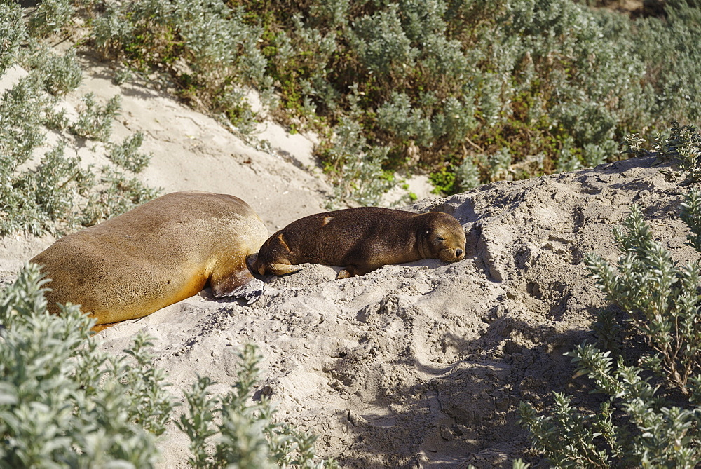 Wild baby Australian Sea Lion resting on sand in the Seal Bay Conservation Park, Kangaroo Island, Australia, Pacific - 1275-111