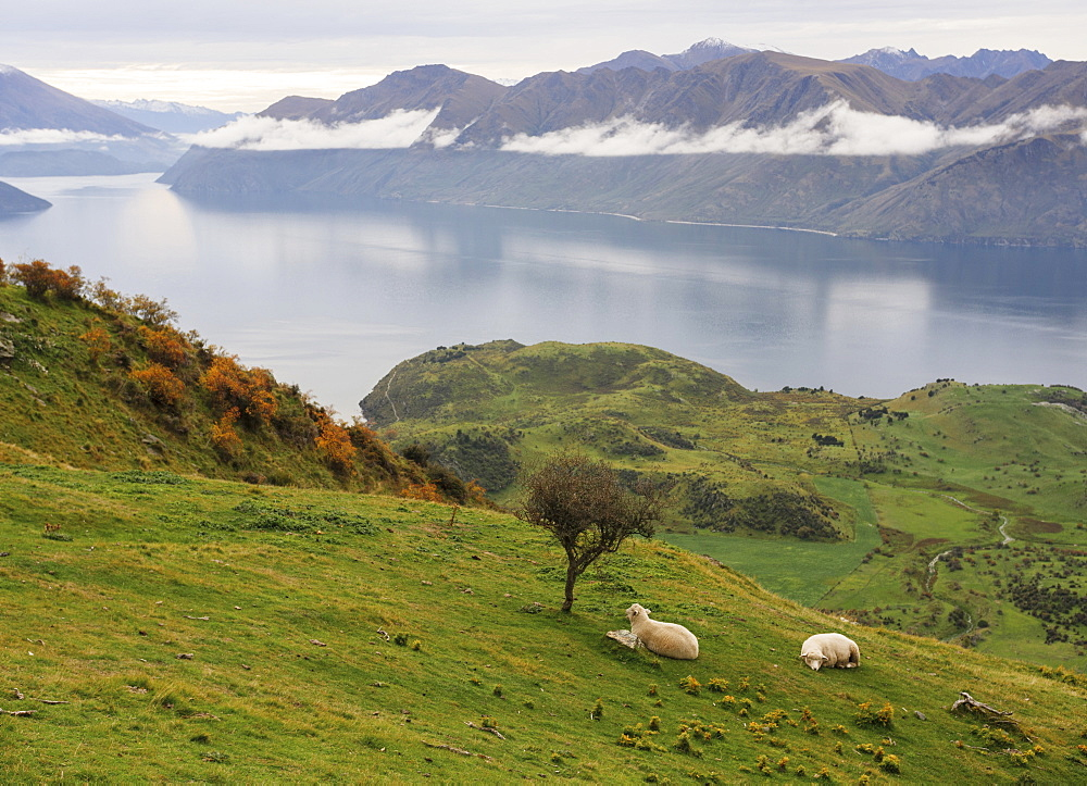 Rural landscape of sheep resting on grass with mountain view, Wanaka, Otago, South Island, New Zealand, Pacific - 1275-115