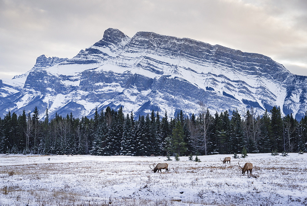 Winter landscape with wild elk in the Banff National Park, UNESCO World Heritage Site, Alberta, Canadian Rockies, Canada, North America - 1275-58
