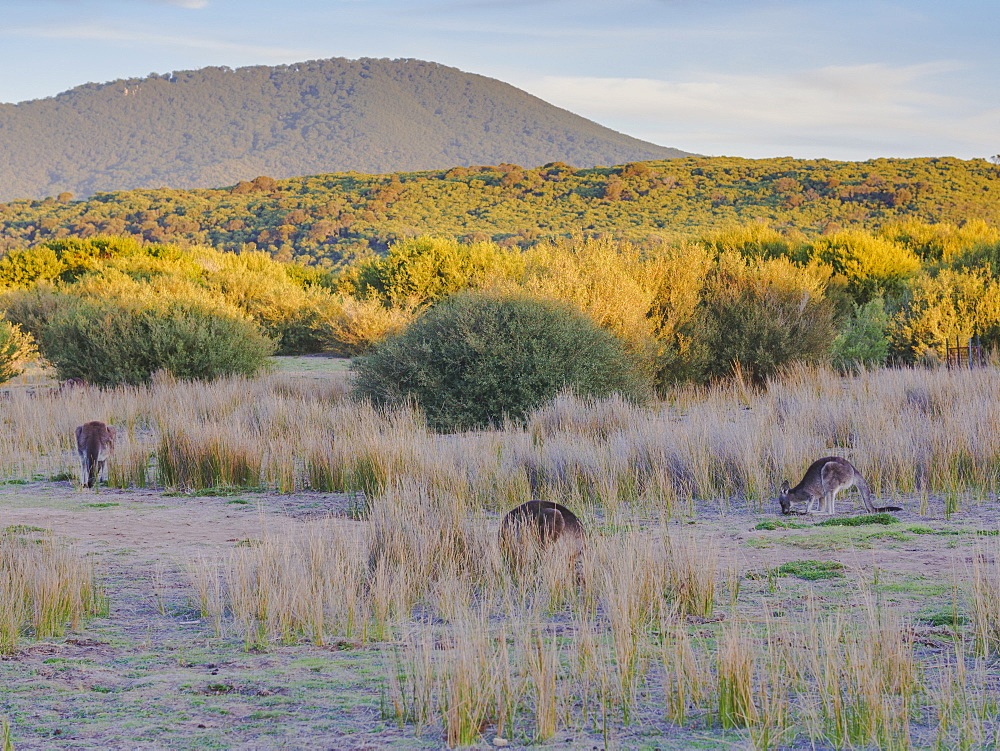 Wild kangaroos in the Wilsons Promontory National Park, Victoria, Australia, Pacific