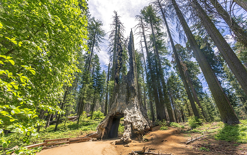 Tuolumne Grove of Giant Sequoias, Yosemite Valley, UNESCO World Heritage Site, California, United States of America, North America