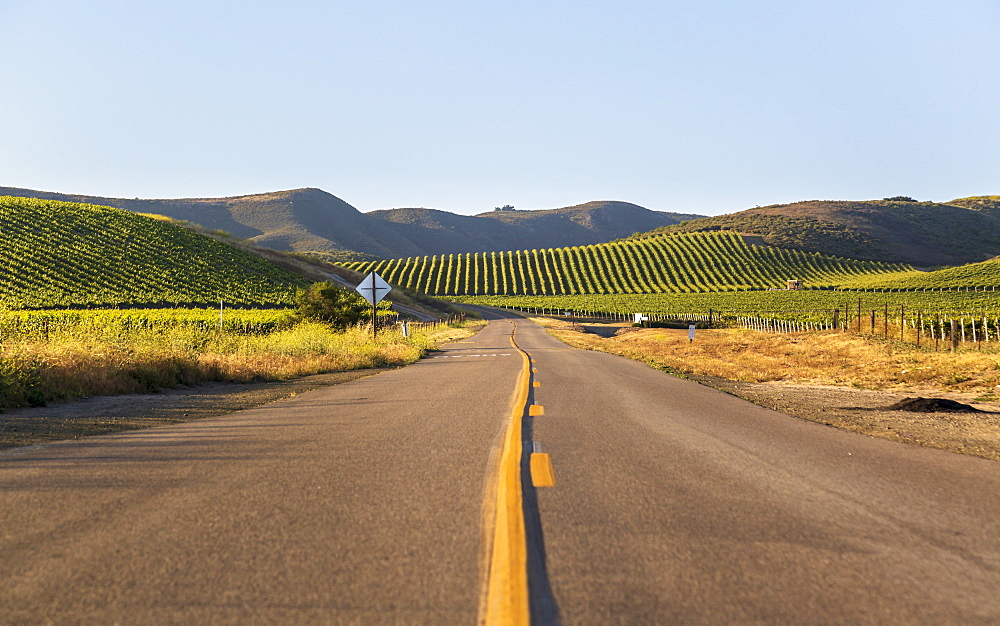 Highway through rows of lush vineyards on a hillside, Napa Valley, California, United States of America, North America