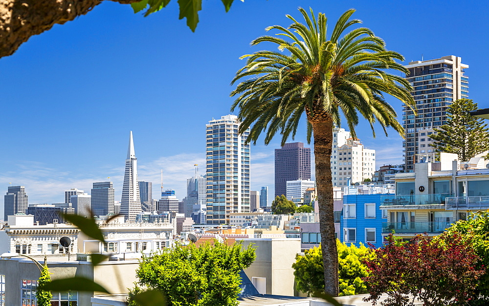 Downtown San Francisco with the Transamerica Pyramid and huge palm tree, San Francisco, California, United States of America, North America