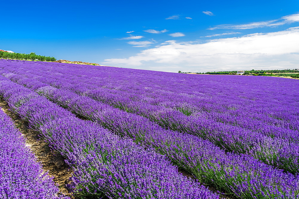 Lavender field with magenta colors landscape against blue sky with clouds. Blooming Lavandula flowers with violet bushes. - 1278-249