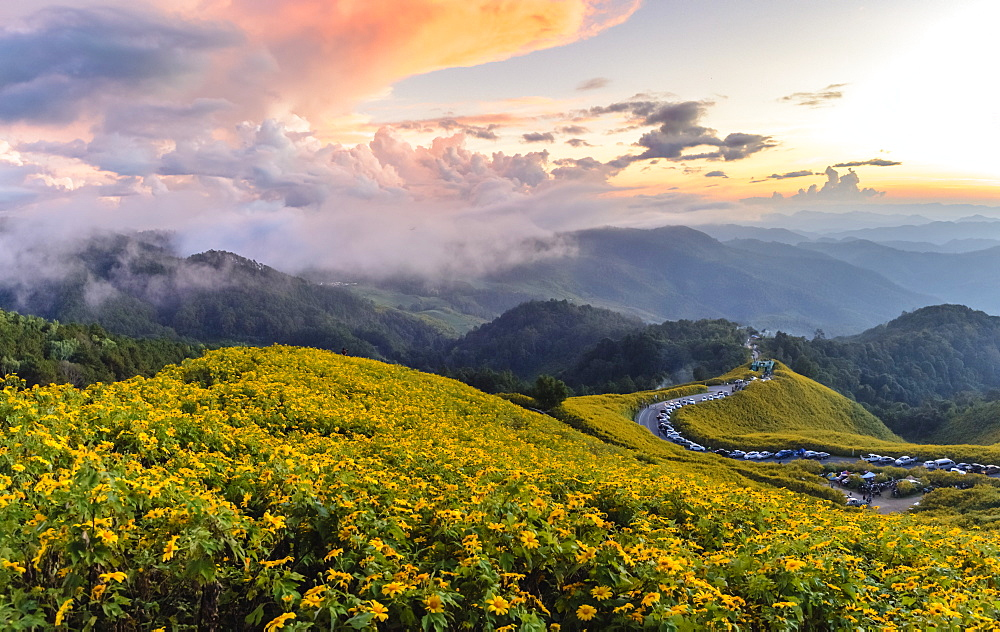 Dramatic sunset and fields of yellow Mexican sunflowers in bloom across hillsides in Mae Hong Son Province, Northern Thailand, Southeast Asia, Asia - 1281-6