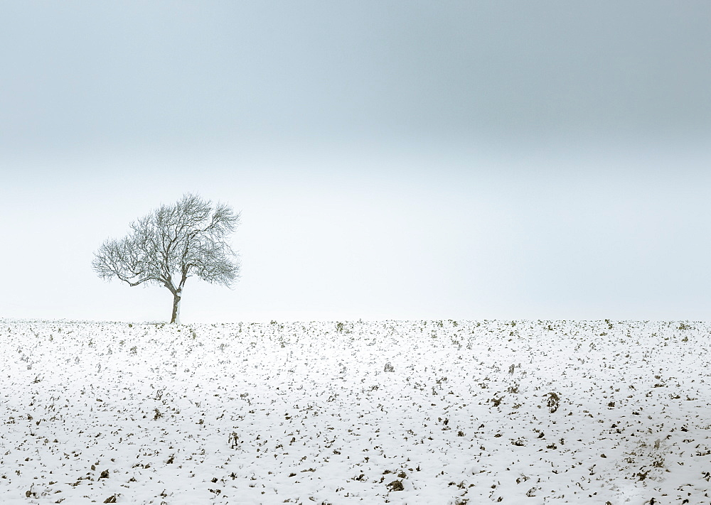 Lonely tree, winter snow scene, Aldbury, Hertfordshire, England, United Kingdom, Europe - 1282-8