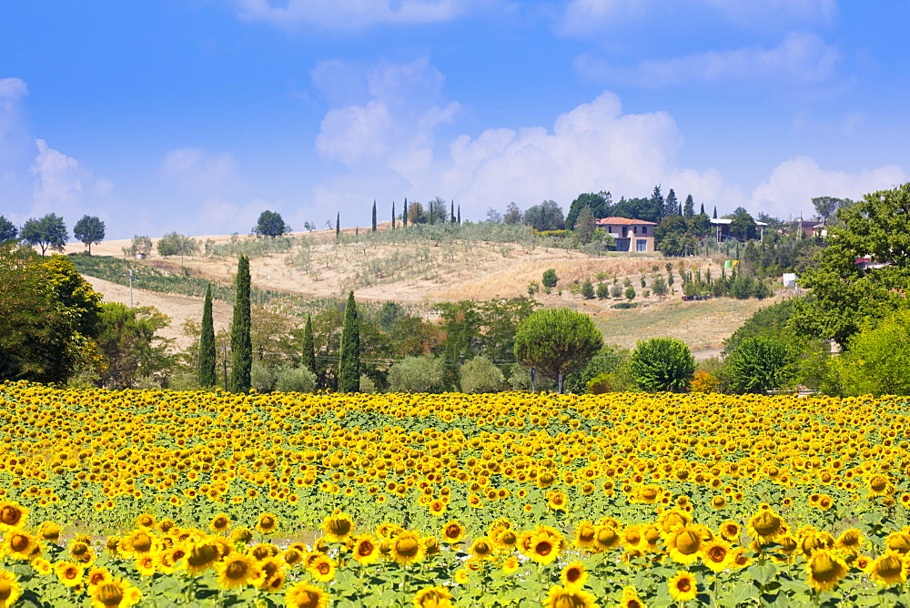 Sunflowers and blue skies in Tuscany countryside near Siena, Tuscany, Italy, Europe - 1284-59