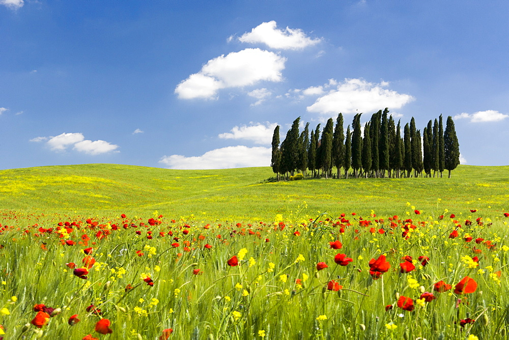Cypress trees and poppies on green field with blue cloudy sky near San Quirico d'Orcia, Val d'Orcia, UNESCO World Heritage Site, Tuscany, Italy, Europe