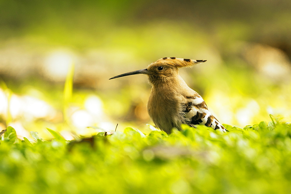 Hoopoe in Chiang Mai, Thailand, Southeast Asia, Asia - 1286-54