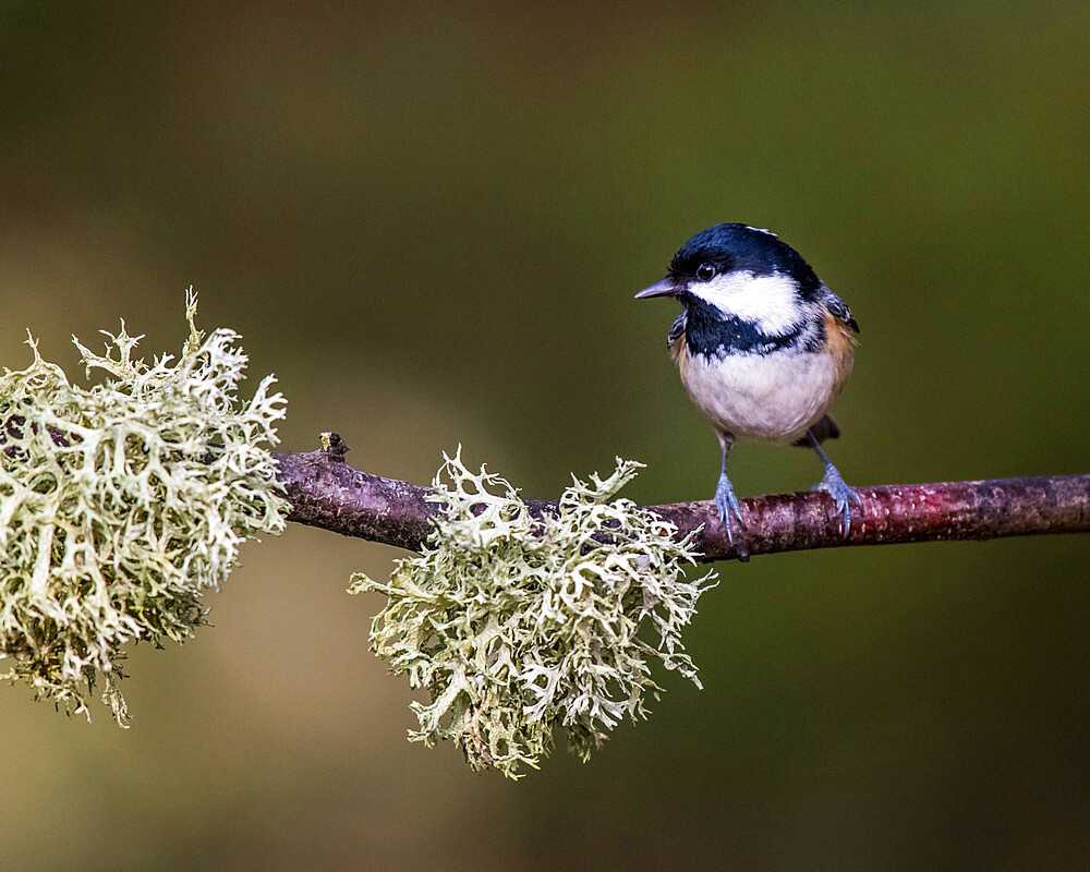 Coal Tit in Abernethy Forest near Aviemore, Cairngorm, Scotland, United Kingdom, Europe - 1287-24