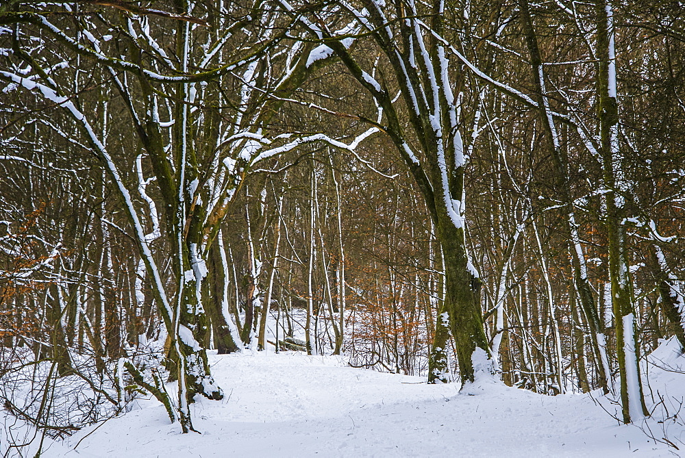 A wintery scene in a woodland on the outskirts of Lennoxtown, captured during a break in the blizzard conditions, East Dunbartonshire, Scotland, United Kingdom, Europe - 1287-46