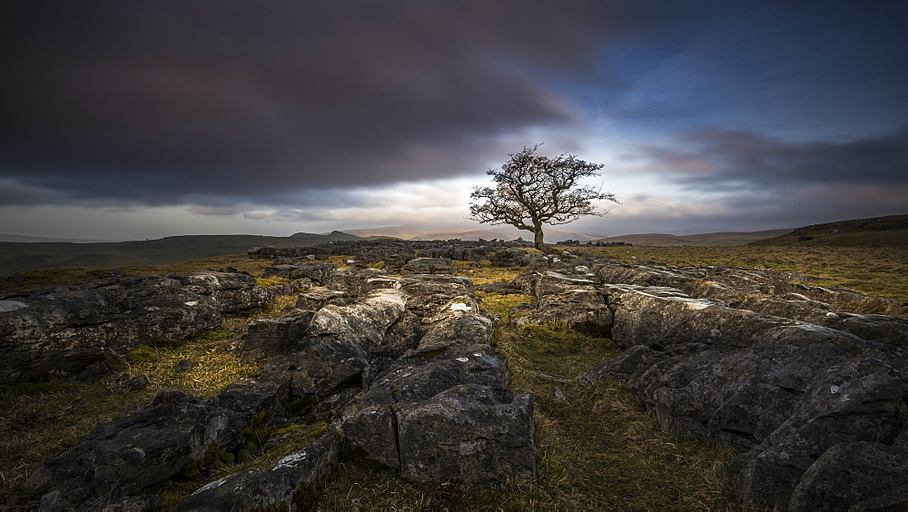 A lone weathered tree in amongst the limestone pavement of the Yorkshire Dales National Park, Yorkshire, England, United Kingdom, Europe - 1287-48