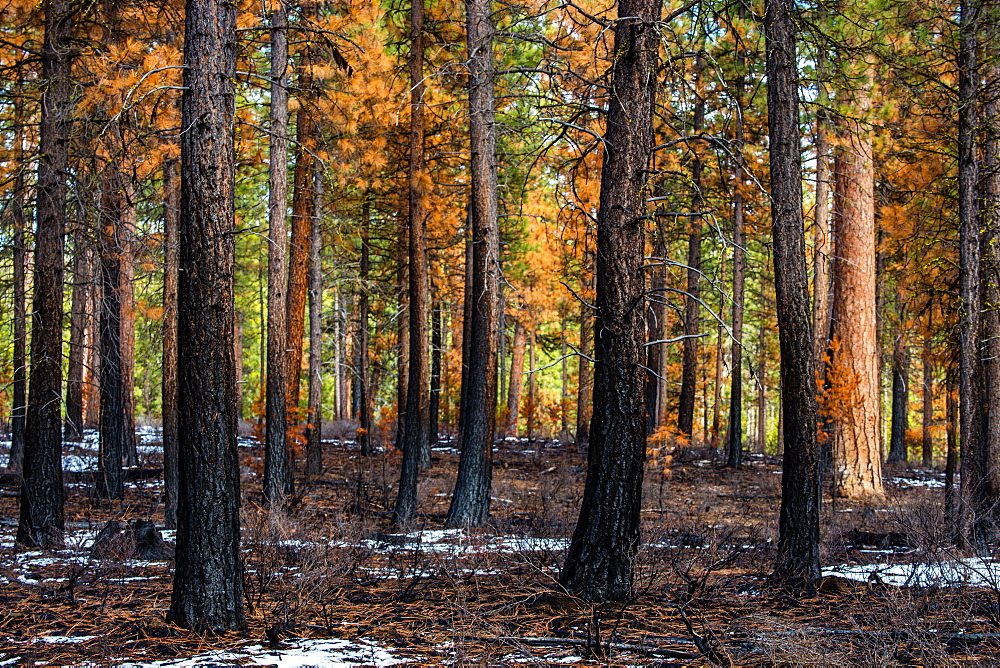 A partially burnt forest of ponderosa pines after a fire has swept through, Oregon, United States of America, North America - 1289-4