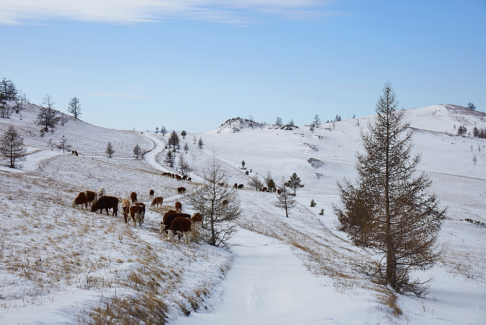 Cows in the Tazheran steppe along the western shores of Lake Baikal in winter, Siberia, Russia, Eurasia - 1294-130