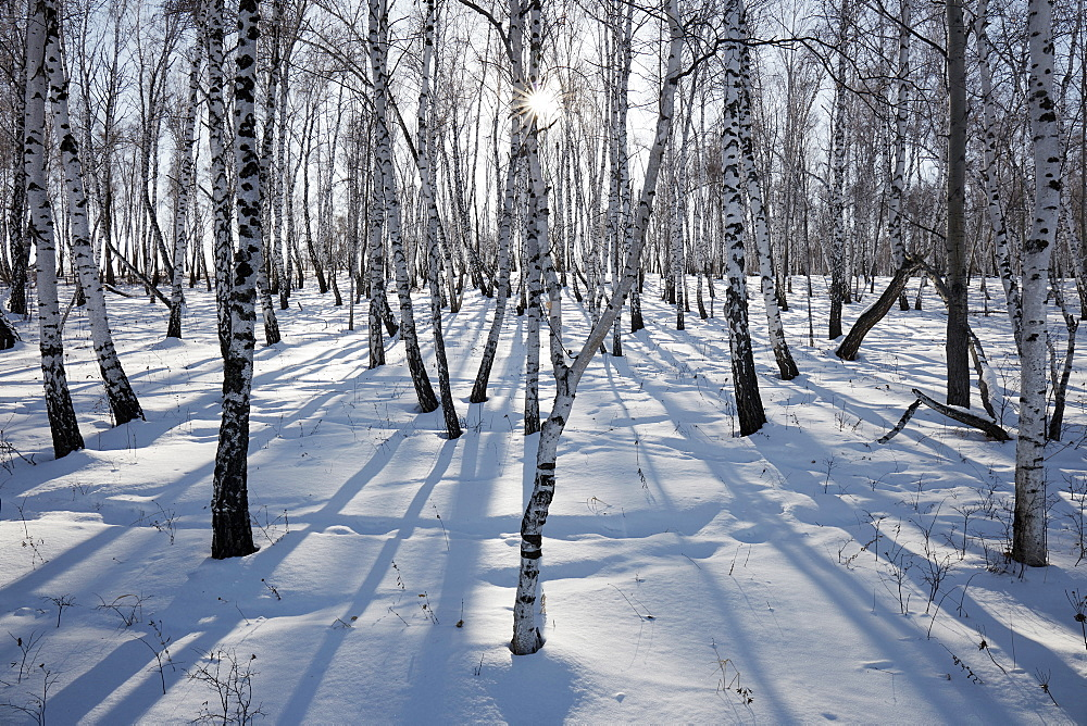 Birch forest in Siberia in winter, Siberia, Russia, Eurasia - 1294-138