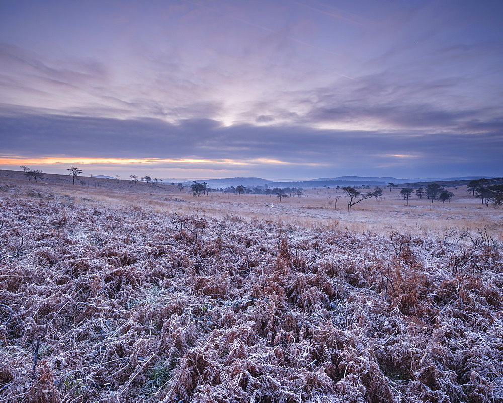 Heavily frosted bracken on the heathland of Woodbury Common, near Exmouth, Devon, UK