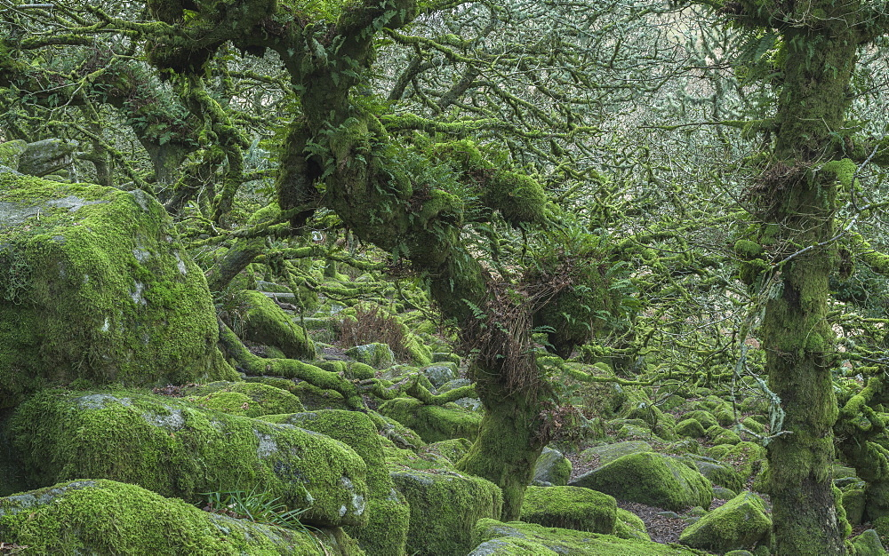The distinctive gnarled moss and fern covered oaks in Wistman's Wood, near Princetown, Devon, England, United Kingdom, Europe