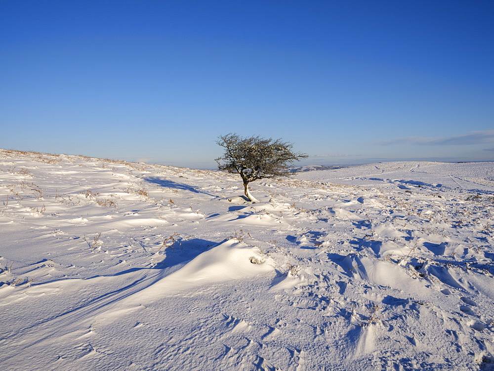 Hawthorn in snow - Haytor, Bovey Tracey, Devon UK - 1295-185