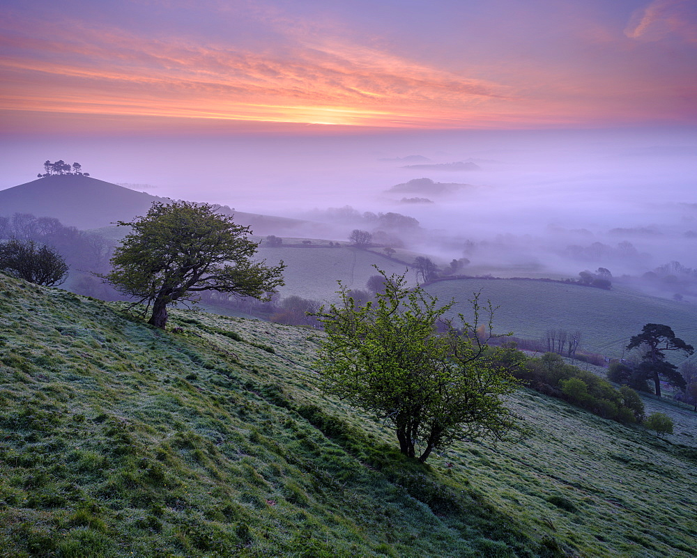 Misty dawn twilight over the distinctive pine topped Colmer's Hill near Bridport, Dorset, England, United Kingdom, Europe - 1295-223