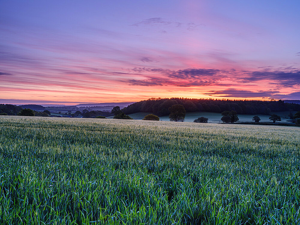 Dawn sky over a field of Barley at Stowford, near Exmouth, Devon, UK - 1295-230