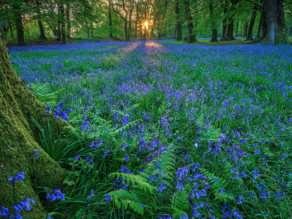 Bluebells at the ancient fort of Blackbury Camp near Sidmouth, Devon, UK - 1295-231